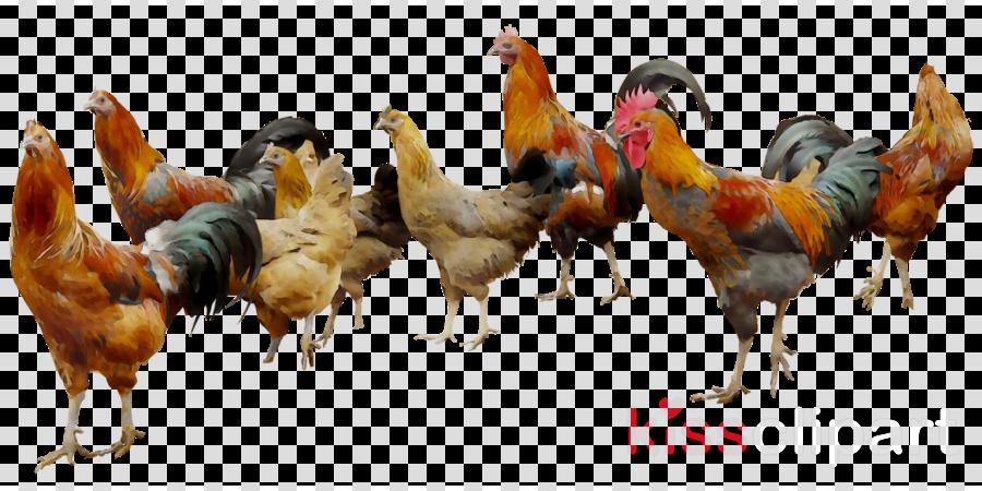 Chicken clipart Chicken Broiler Poultry