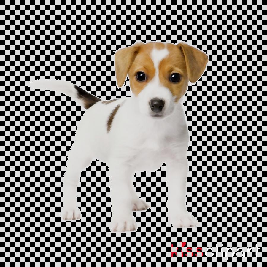 jack russell puppies clipart Jack Russell Terrier Puppy Labrador Retriever