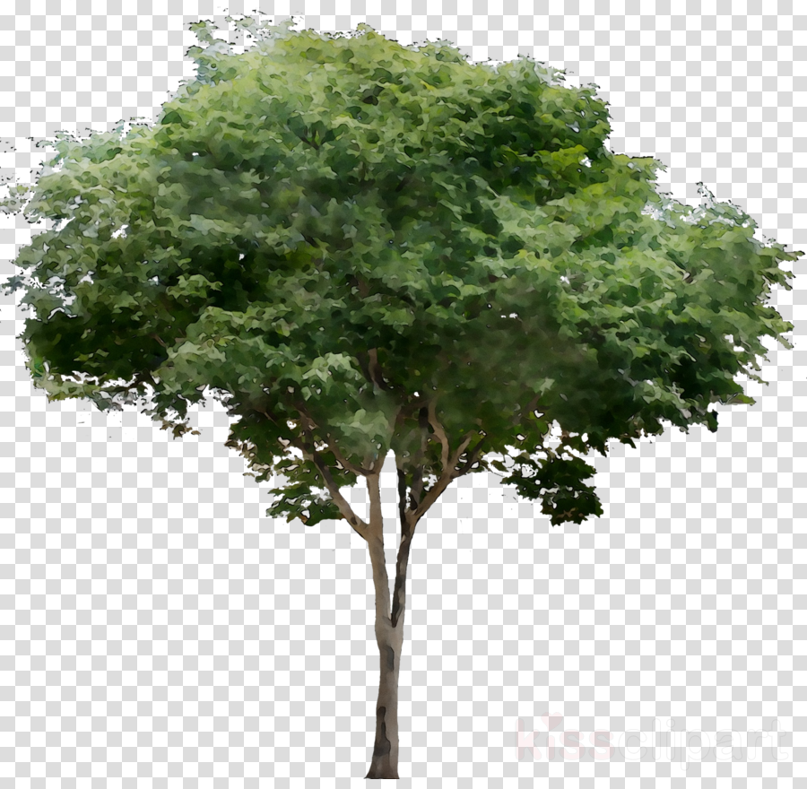 tree white background clipart Tree Deciduous Common fig