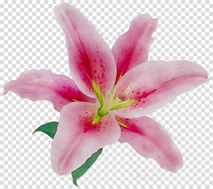Lily Flower Cartoon