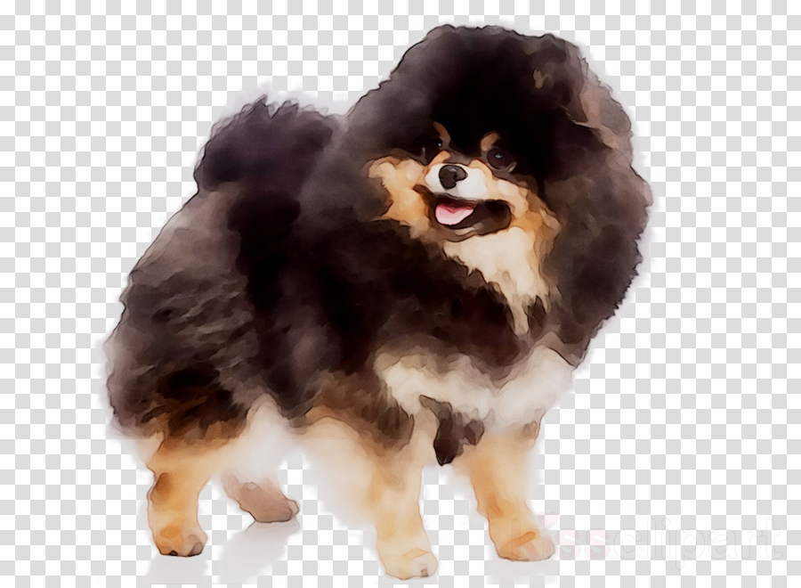 Pomeranian Background