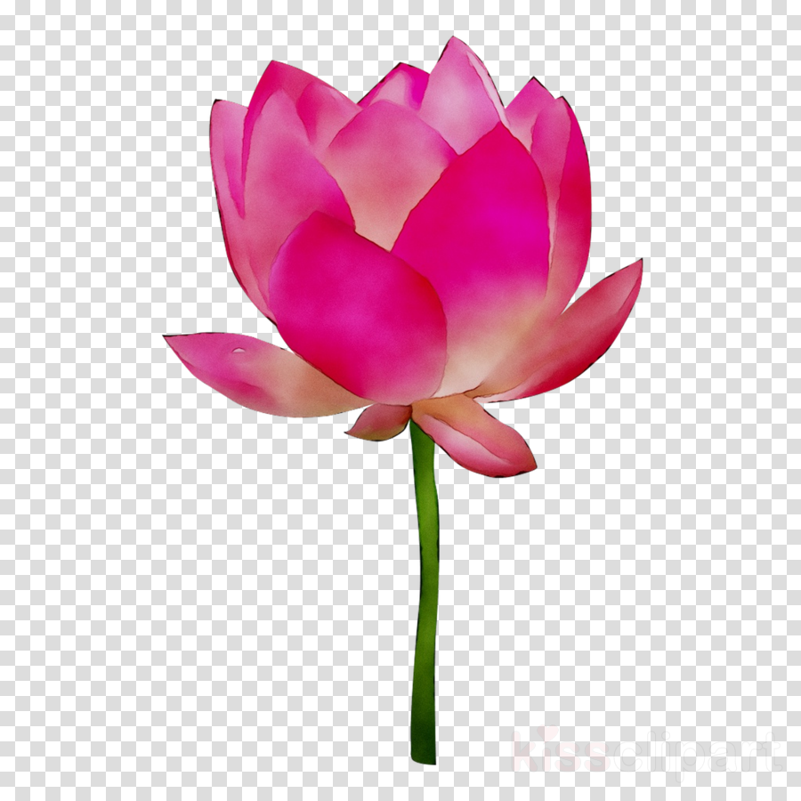 Flower Lotus Pink Transparent Png Image Clipart Free Download
