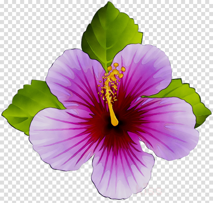 Flower Hibiscus Plant Transparent Png Image Clipart Free Download