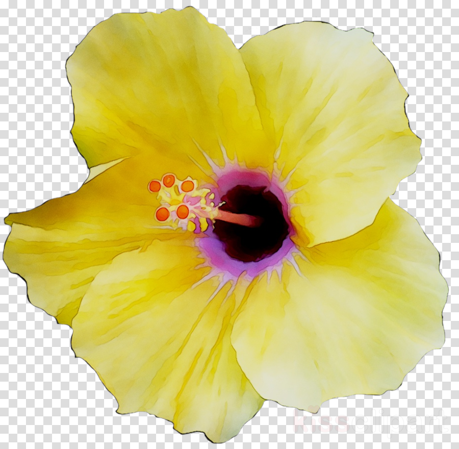 Flower Yellow Hibiscus Transparent Png Image Clipart Free Download
