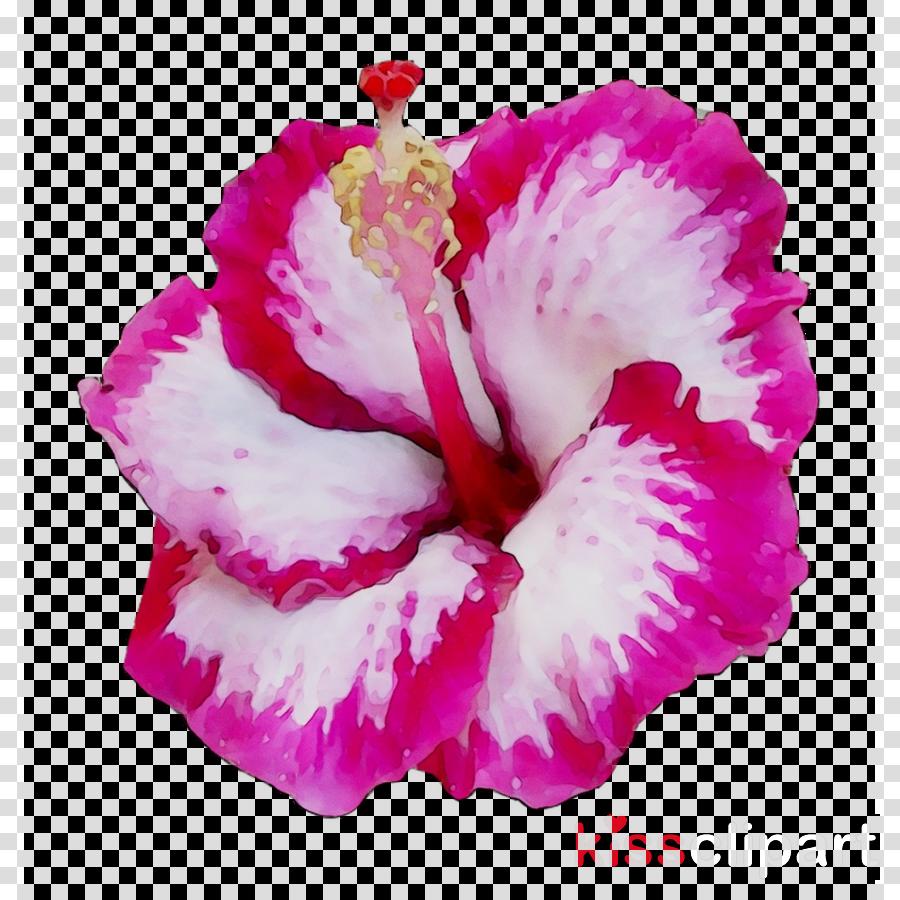 Hibiscus Clipart Red Hibiscus - Hibiscus Clipart - Free Transparent PNG  Clipart Images Download