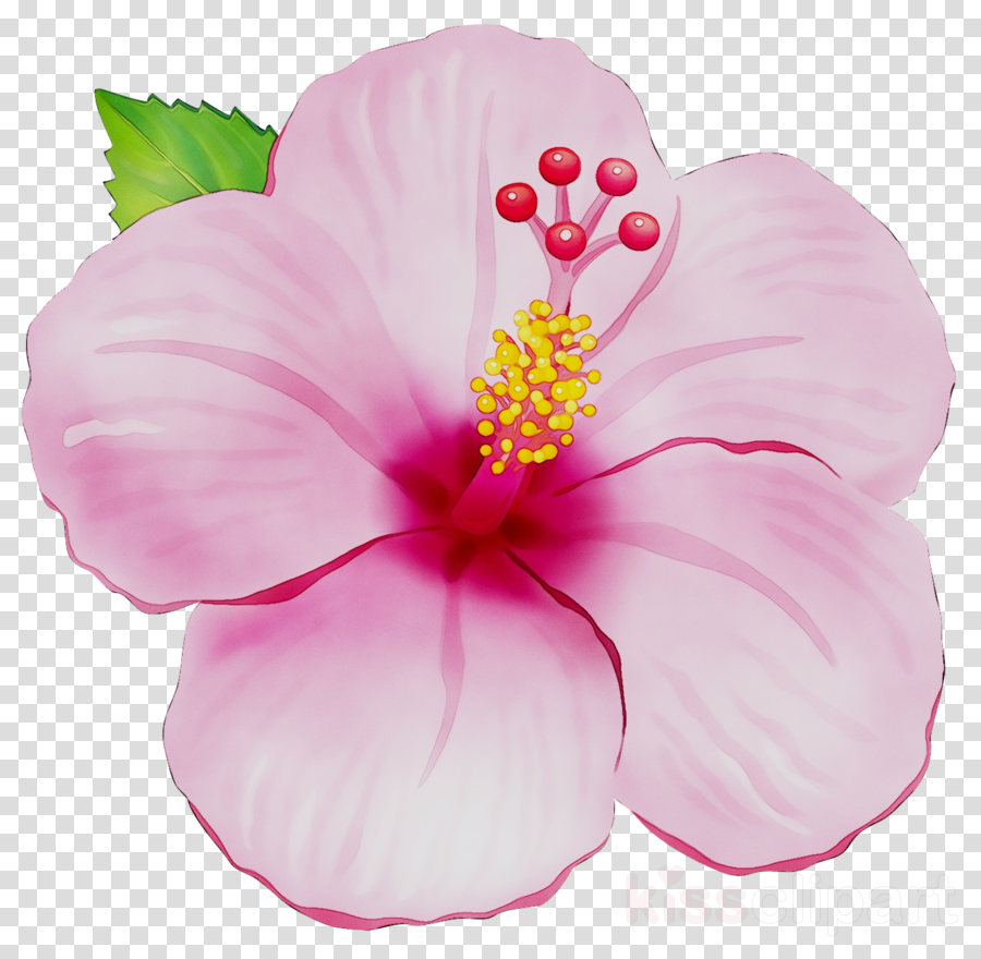 Flower Pink Hibiscus Transparent Png Image Clipart Free Download