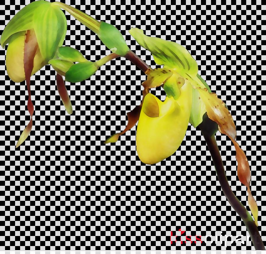 bud clipart Slipper orchids Plant stem