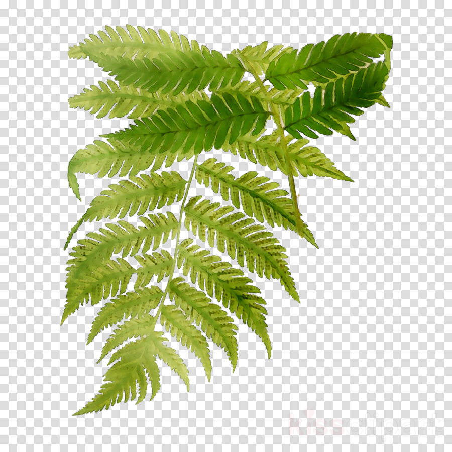 leaf clipart Ostrich Fern Common ostrich