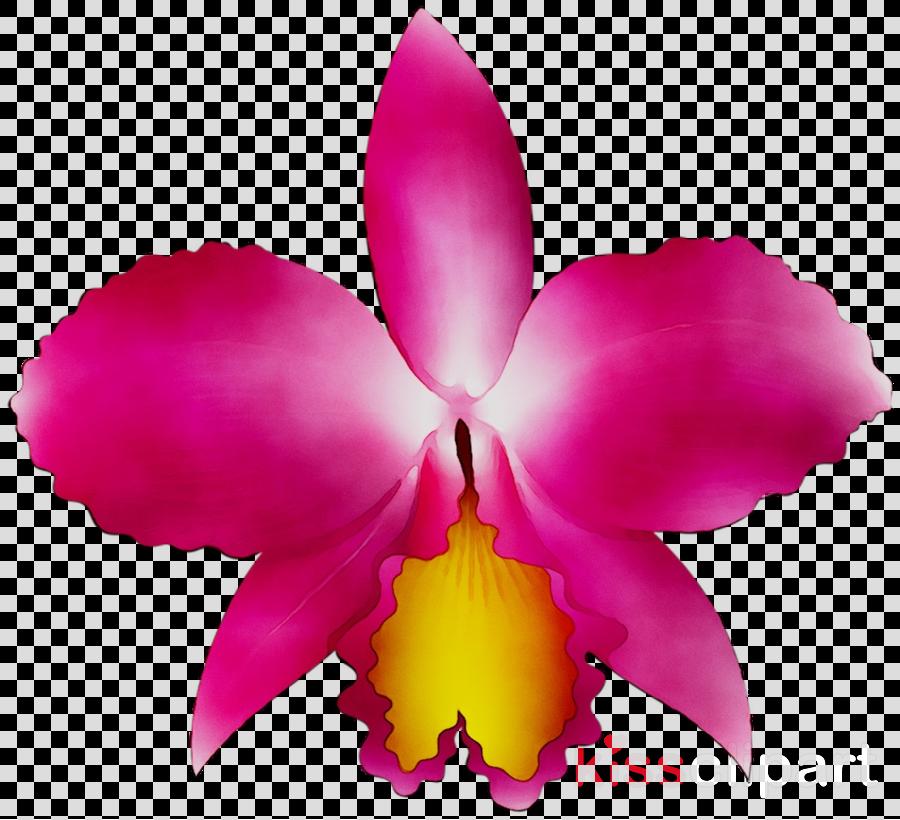 petal clipart Crimson Cattleya Christmas orchid Orchids