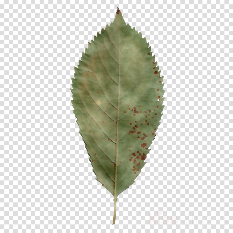 Oak Tree Leaf