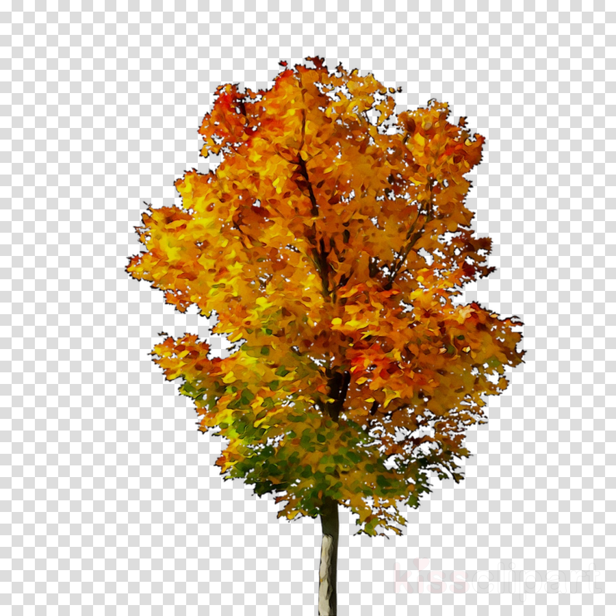 Family Tree Background Clipart Maple Leaf Transpa