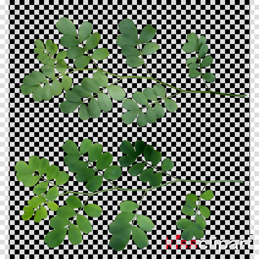 Herbalism Shamrock Leaf Plant stem