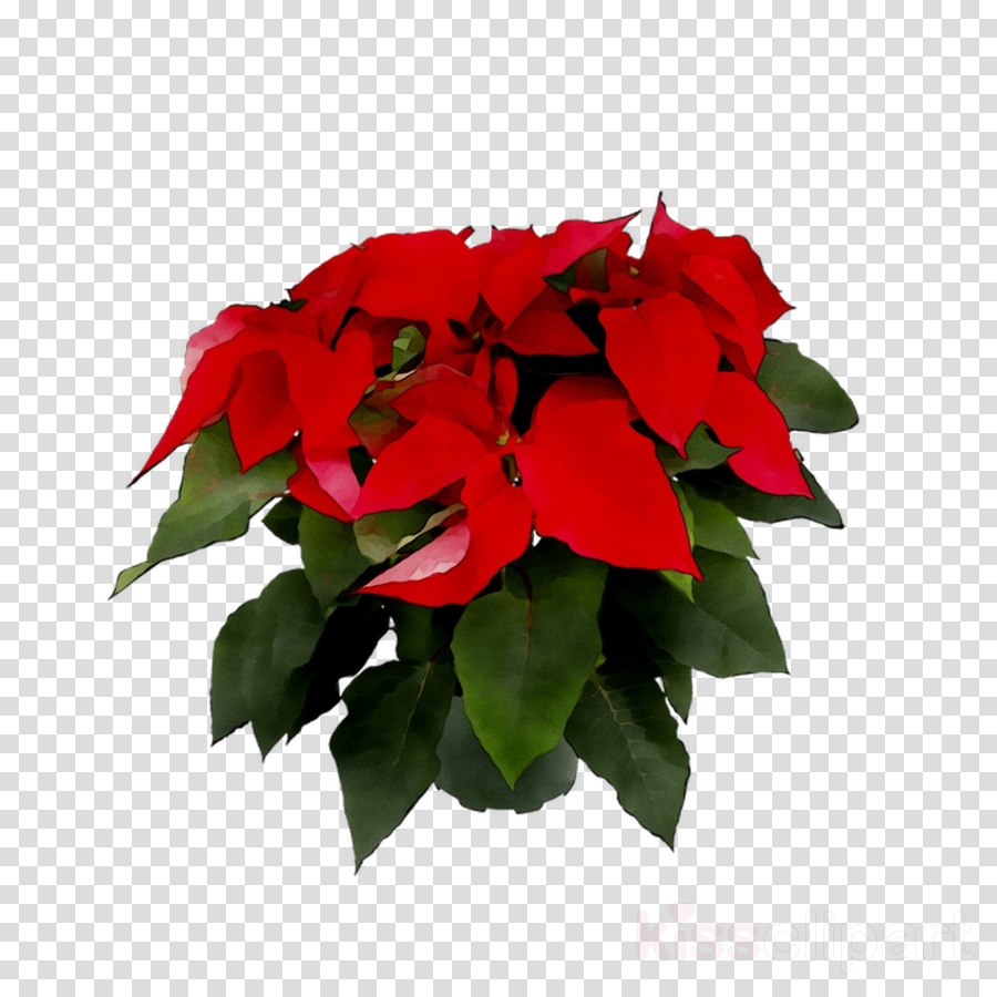 Free Poinsettias Cliparts, Download Free Clip Art, Free Clip Art on Clipart  Library