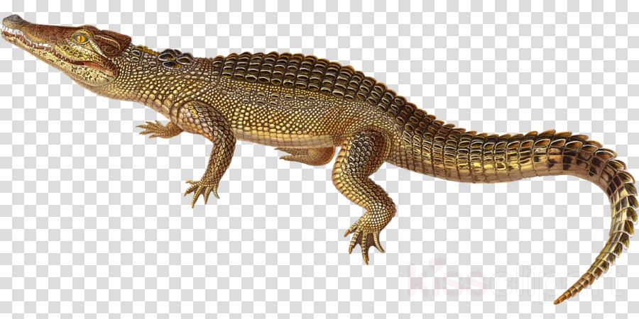 Nile crocodile Alligators Cuban crocodile Agamas Portable Network Graphics