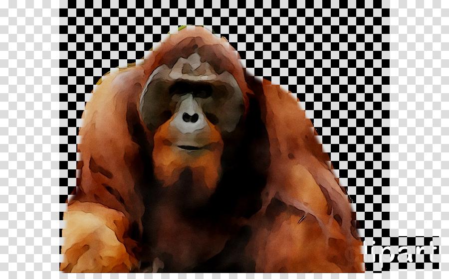 Orangutan Western gorilla Chimpanzee Primate Monkey