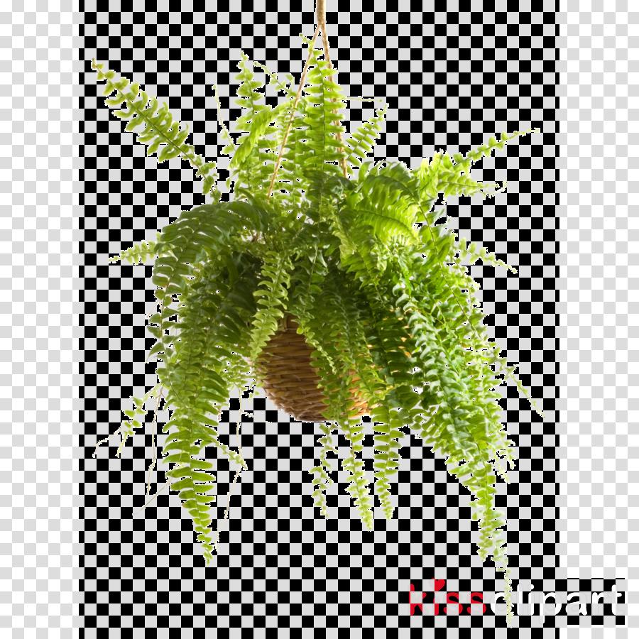 Sword fern Plants Houseplant Illustration