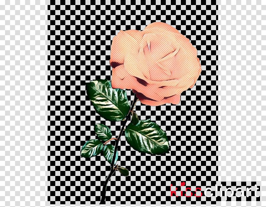Garden roses Cabbage rose Cut flowers Floral design