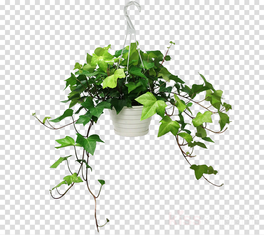 Common ivy Plants Houseplant Hedera canariensis Image