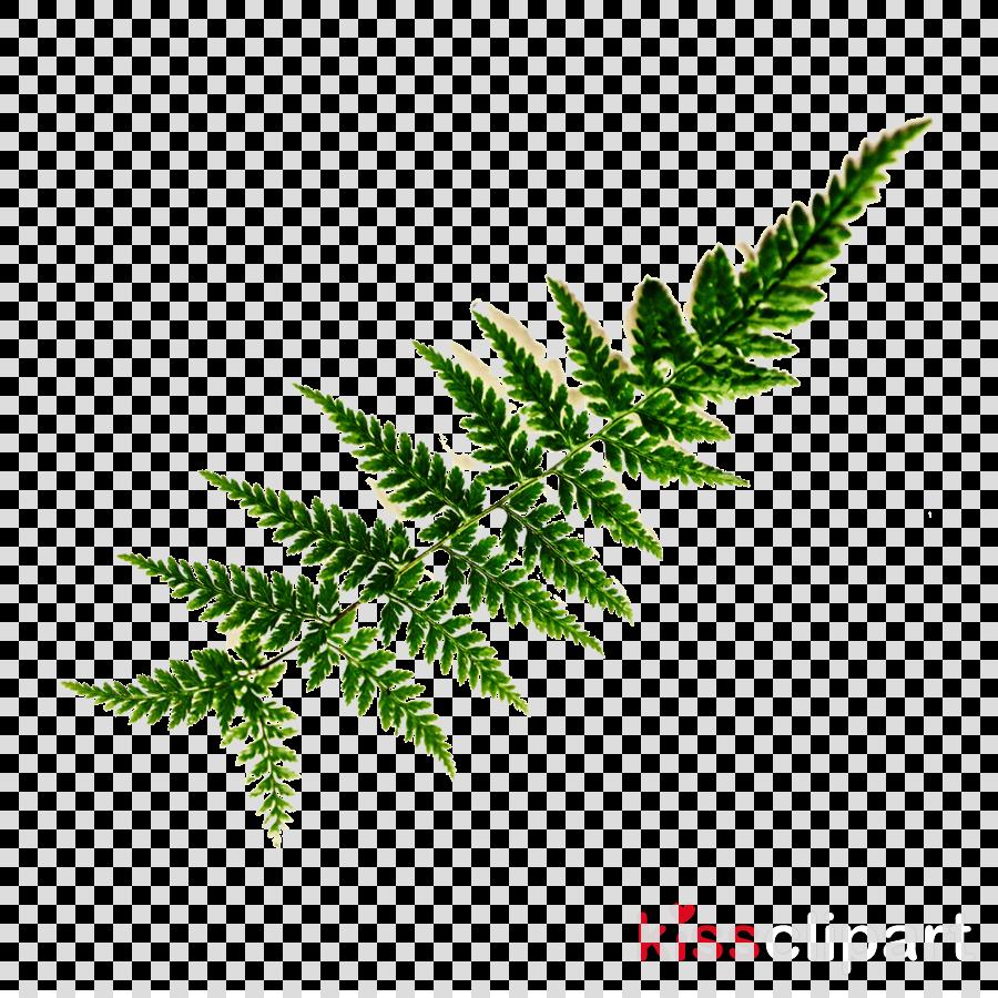 Fern Clip art Vascular plant Leaf Frond