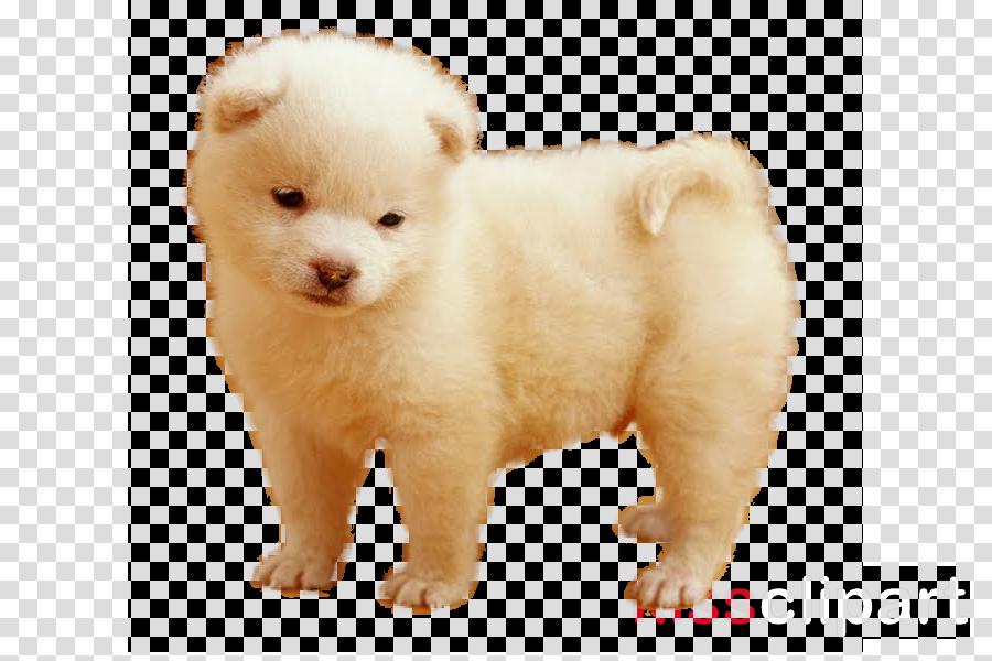 German Spitz Klein Puppy German Spitz Mittel Finnish Spitz Pomeranian
