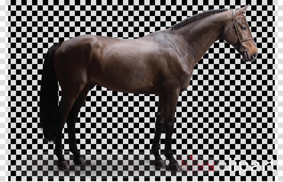Dutch Warmblood Arabian horse Foal Stallion American Paint Horse