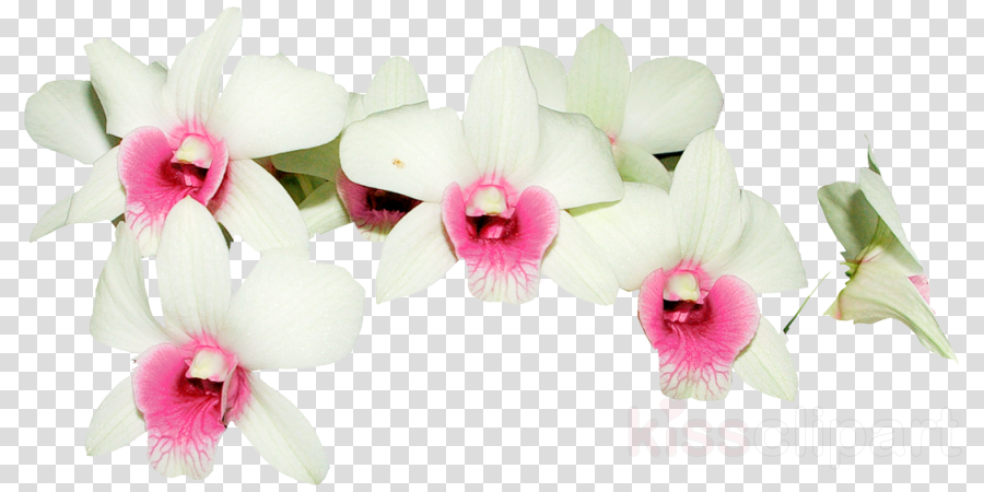 Moth orchids Design Cut flowers Dendrobium