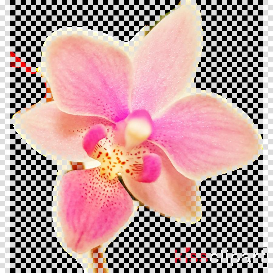 Moth orchids Flower Orchidea Singapore orchid Lycaste
