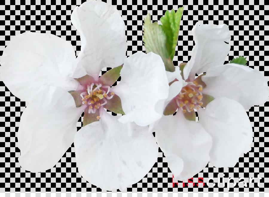 Blossom Moth orchids Clip art Flower