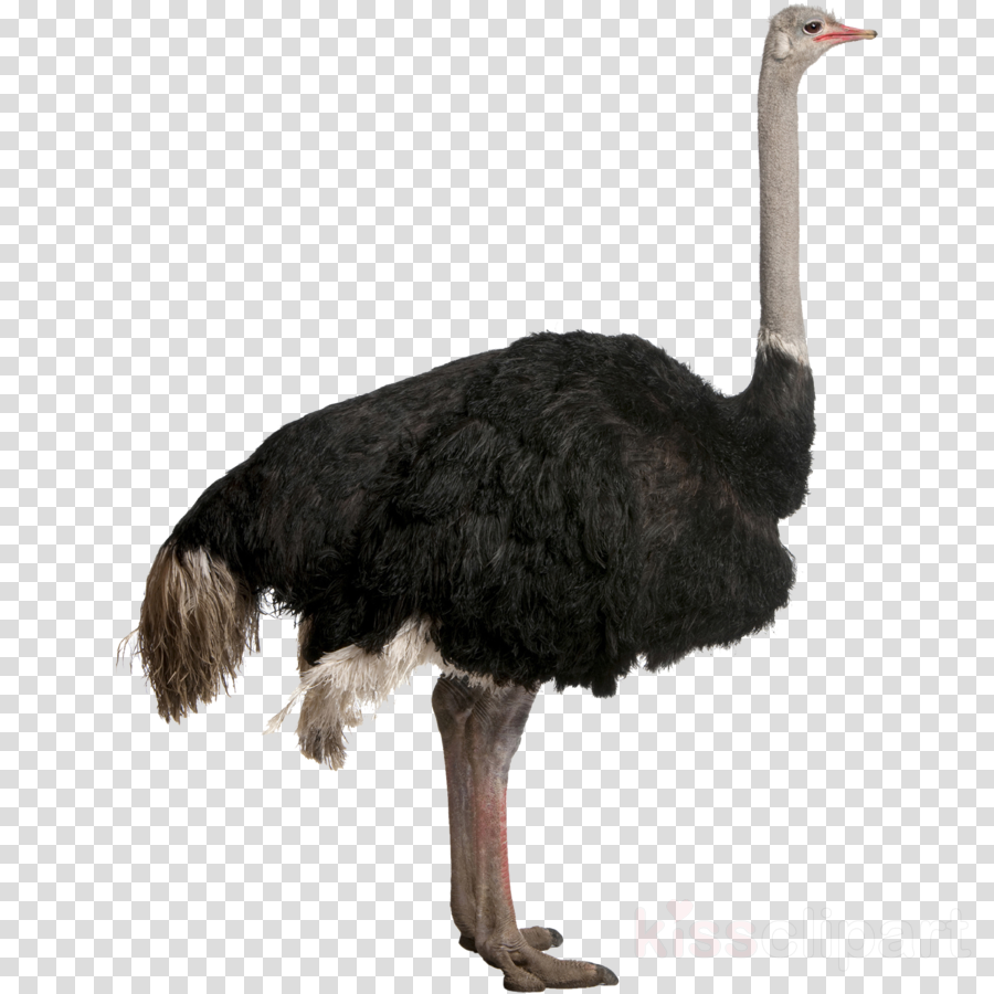 Portable Network Graphics Clip art Transparency Image Common ostrich