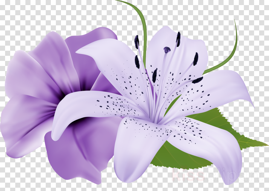 Easter lily Flower Clip art Lily 'Stargazer' Portable Network Graphics