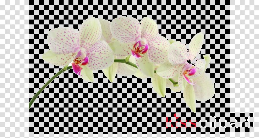 Moth orchids Desktop Wallpaper The Orchid Specialist Clip art