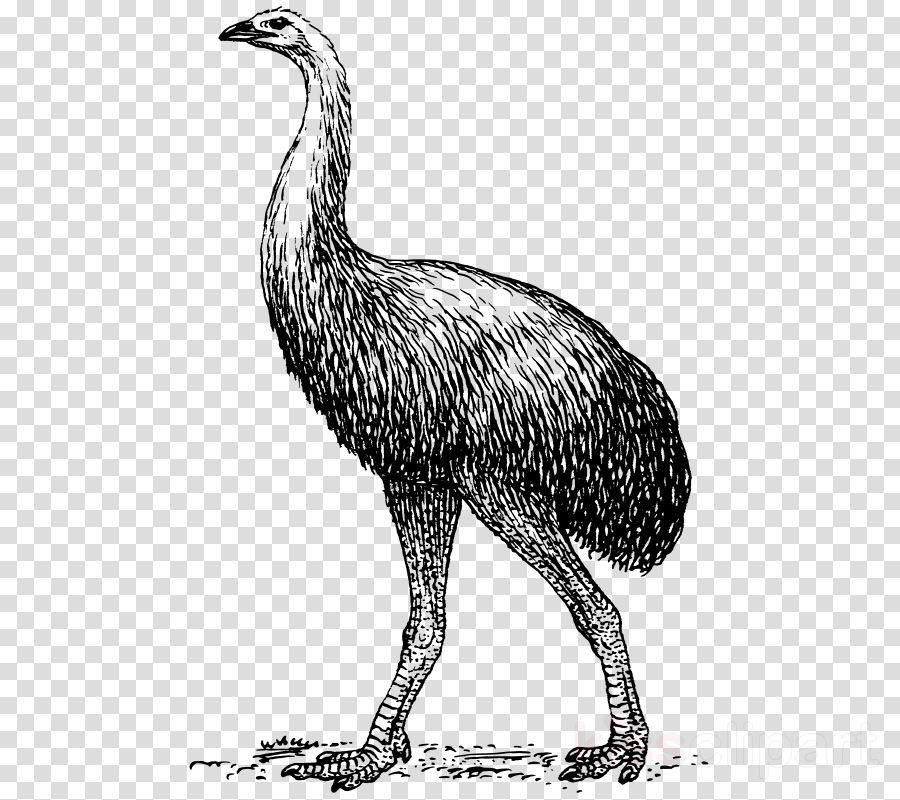 Portable Network Graphics Clip art Common ostrich Vector graphics Bird