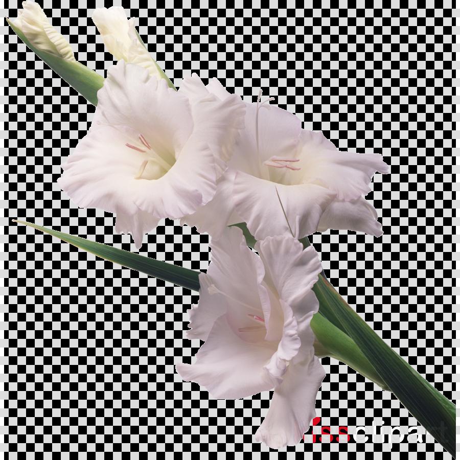 Gladiolus communis Charming Beauty Garden Flower