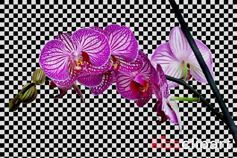 Moth orchids Stock photography Philadelphia Flower Show Plants