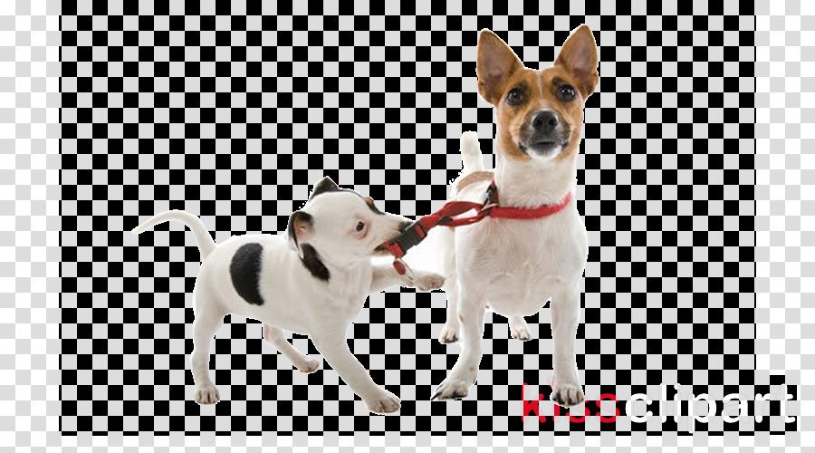 Jack Russell Terrier Dog breed Puppy Miniature Fox Terrier Rat Terrier