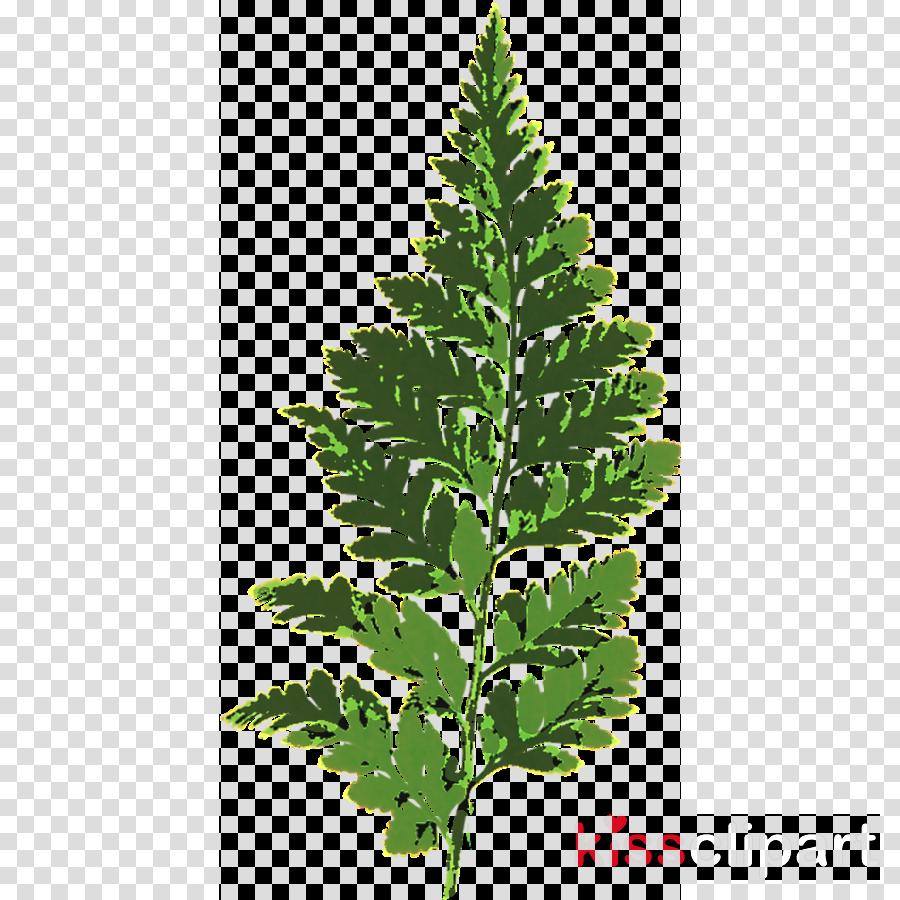Fern Portable Network Graphics Plants Leaf Vascular plant