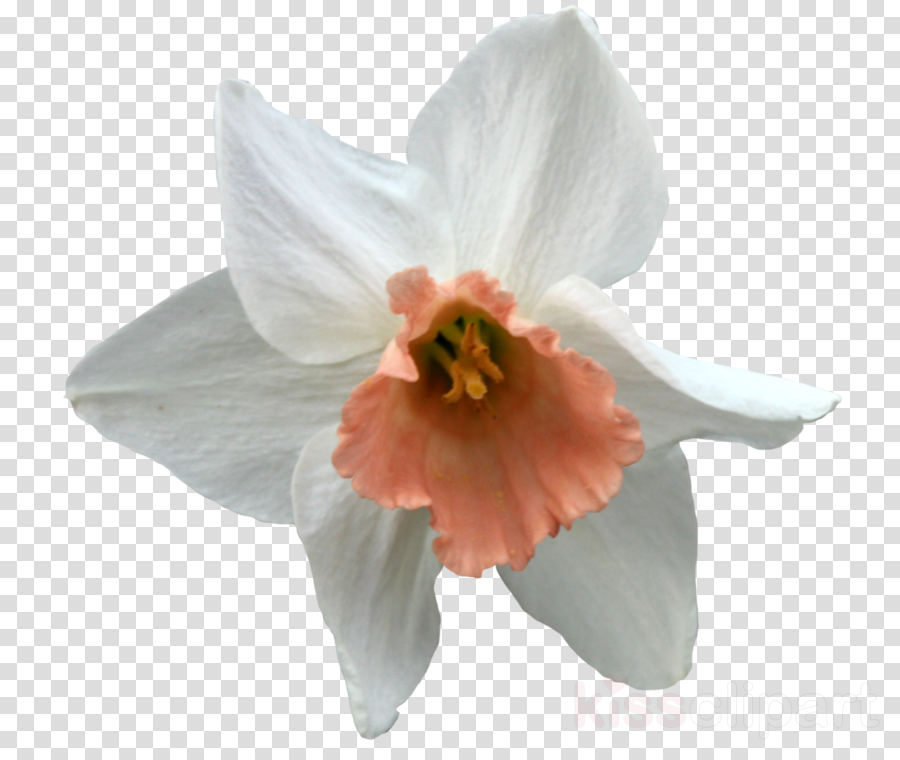 Amaryllis Jersey lily Cut flowers Moth orchids