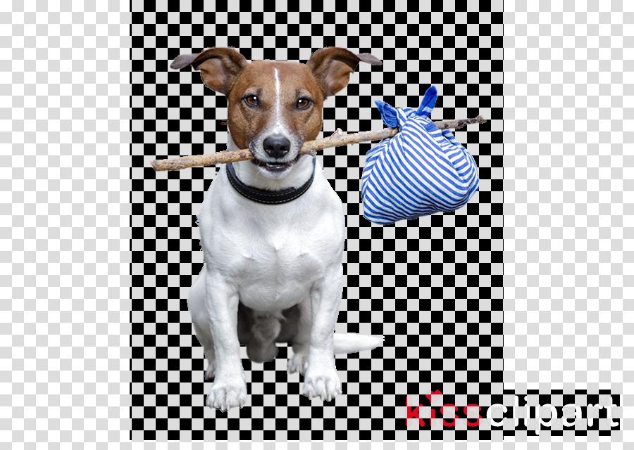 Jack Russell Terrier Rat Terrier Scottish Terrier Parson Russell Terrier Yorkshire Terrier