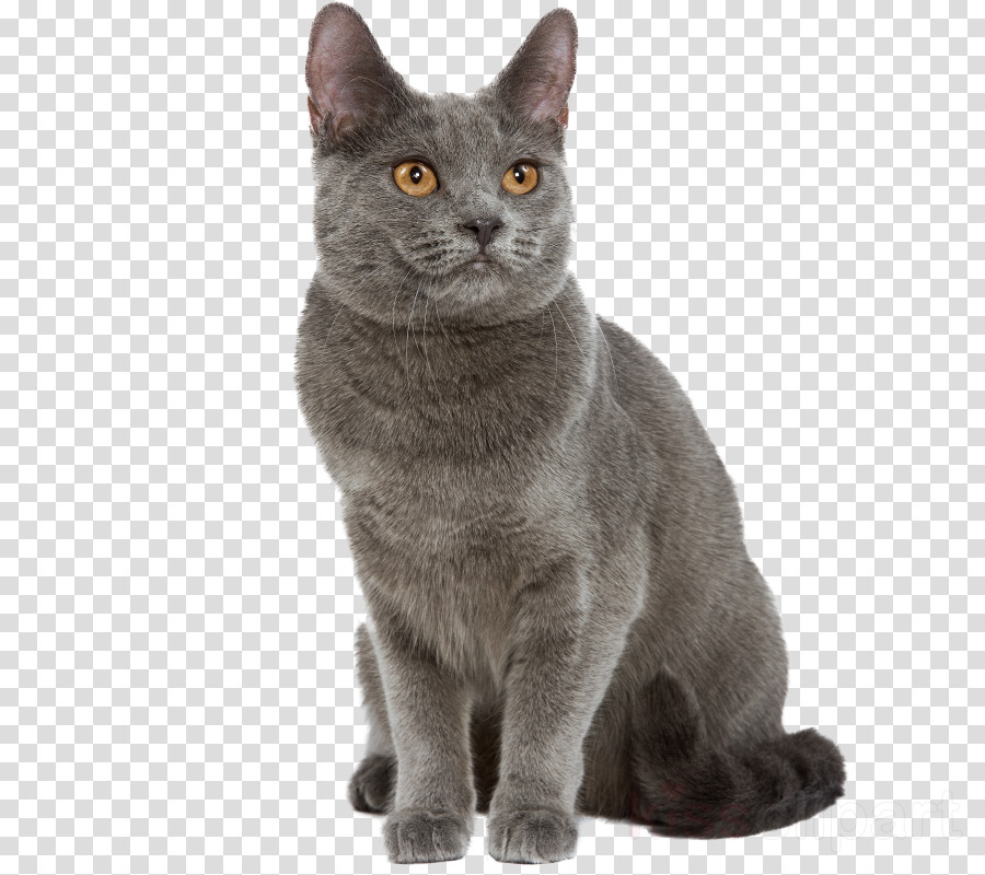 Chartreux British Shorthair Russian Blue Bombay cat American Shorthair