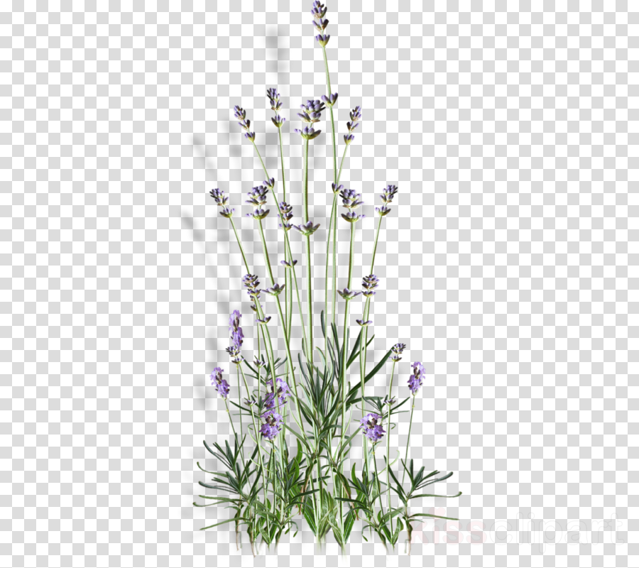 English lavender Portable Network Graphics Flower Plants Image
