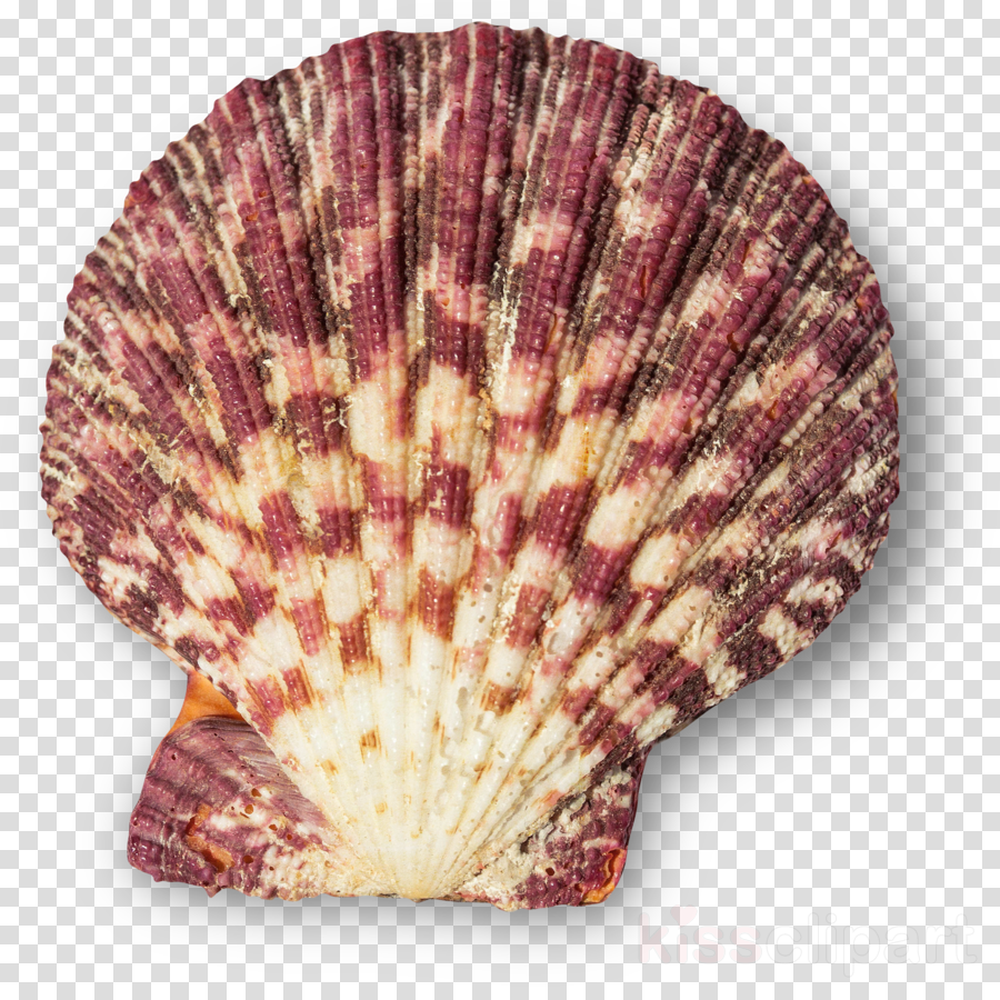 Cockle Seashell Adobe Photoshop Portable Network Graphics Photograph