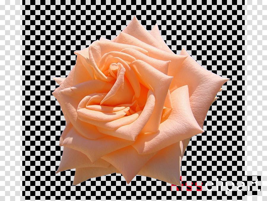Birthday Video search engine Garden roses