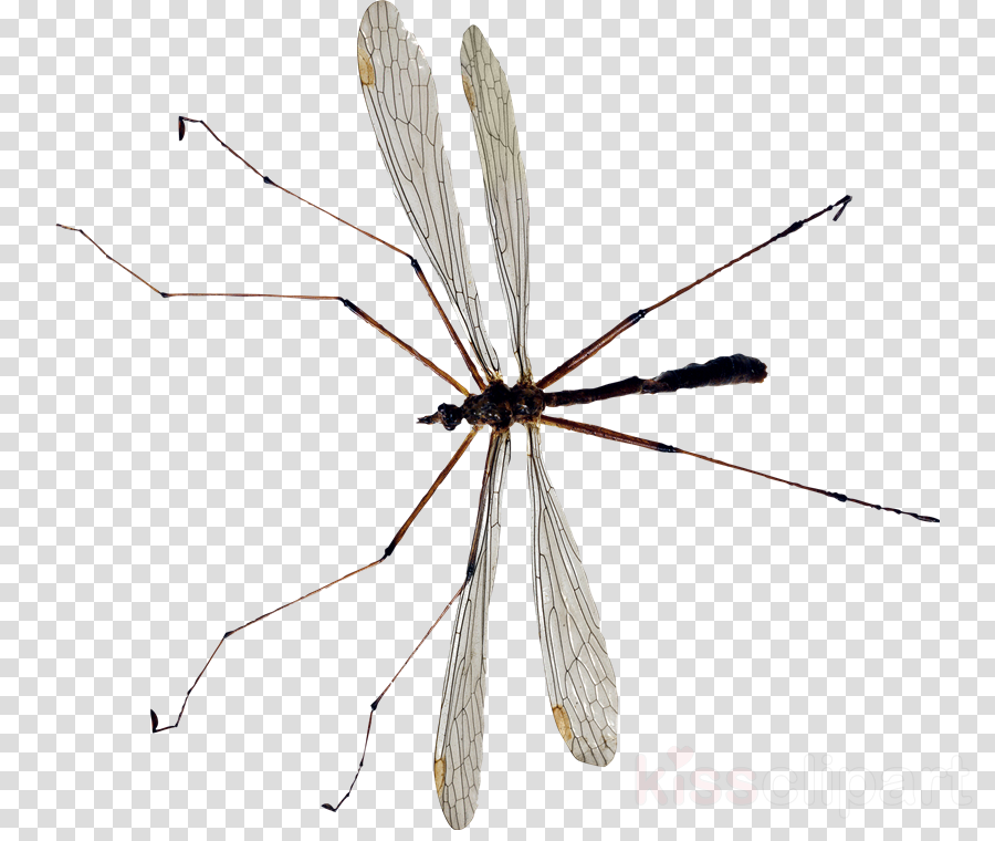Crane fly Cellar spiders Mosquito Pterygota