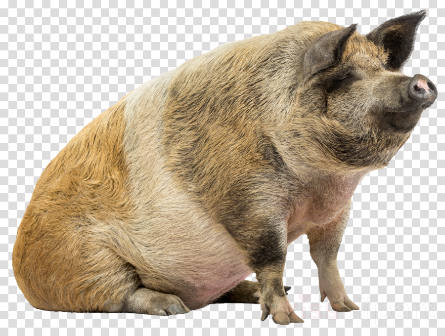 Domestic pig Stock photography stock.xchng Royalty-free Image