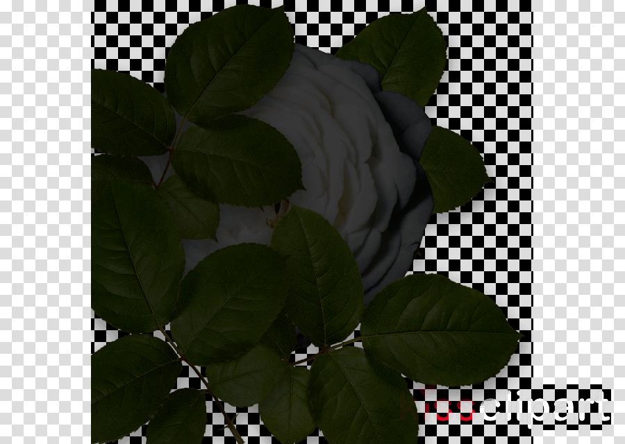 Rose family Petal Leaf Branching