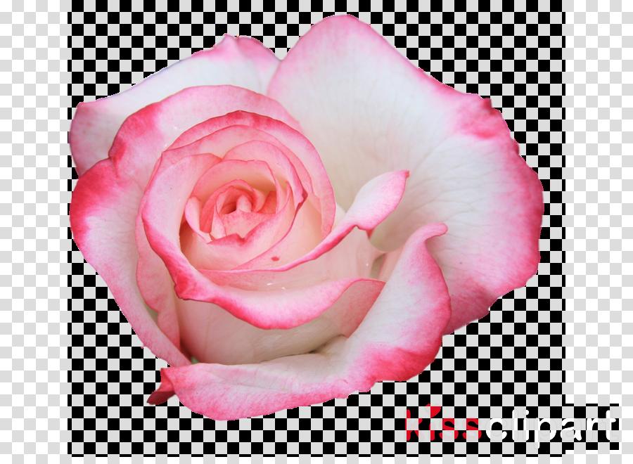 Blue rose Desktop Wallpaper Flower 4K resolution