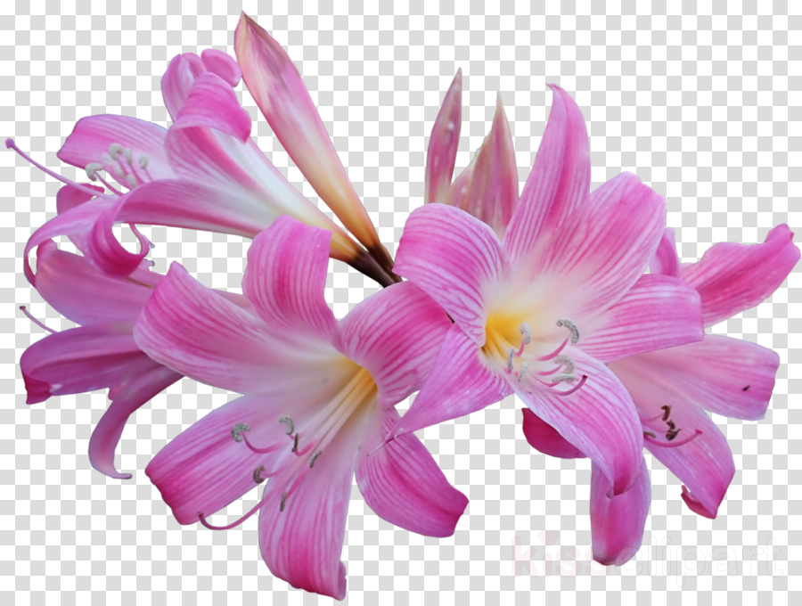 Easter lily Flower Image Drawing Jersey lily