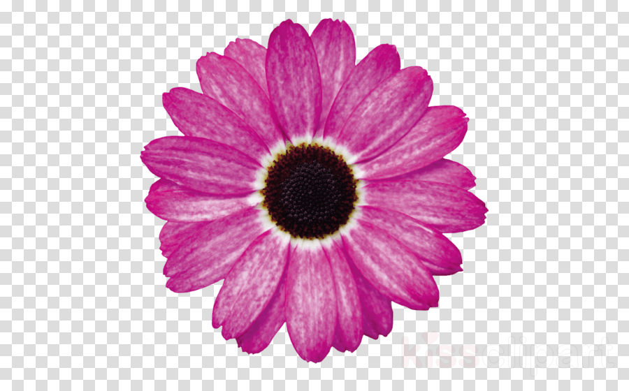 Transvaal daisy Pressed flower craft Stock photography