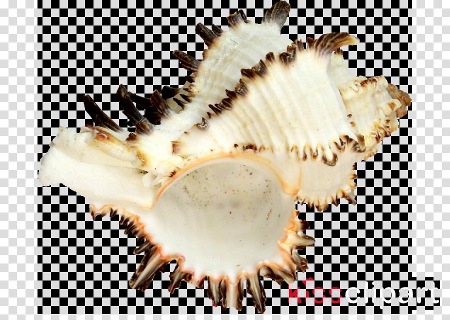 Portable Network Graphics Cockle Image Seashell Conchology