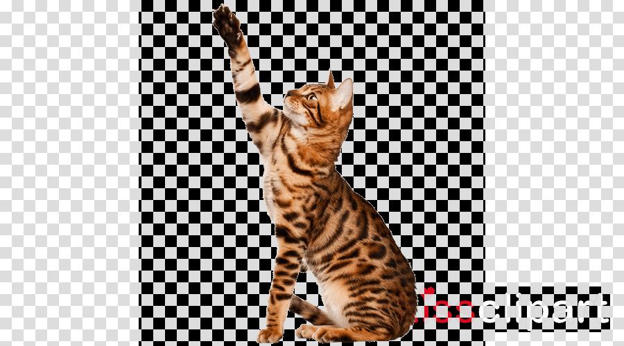 Bengal cat British Shorthair American Shorthair Bombay cat Egyptian Mau